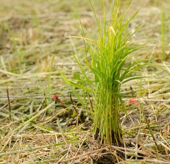 south-korea-rice-planting