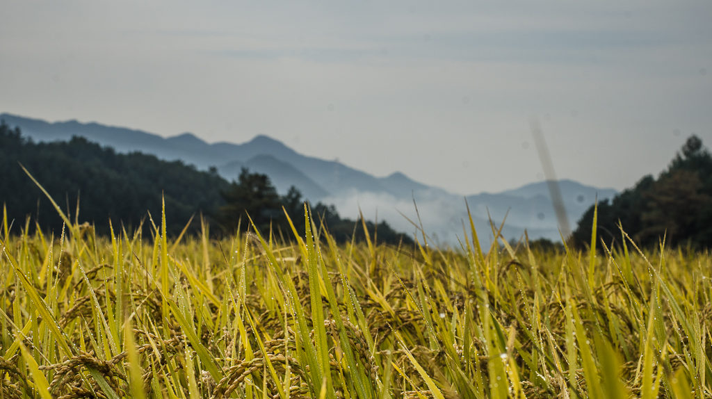 Rice at 최성현 (Seonghyun Choi) natural farm in Gangwon Province, South Korea (photo: P.M. Lydon)