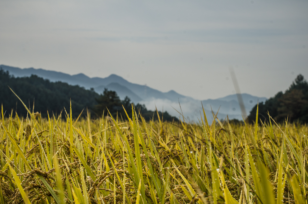 Harvesting Rice by Hand in Korea | Final Straw: Food, Earth, Happiness