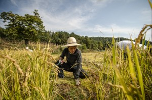 Rockstar harvests rice at 최성현 (Seonghyun Choi) natural farm in Gangwon Province, South Korea (photo: P.M. Lydon)