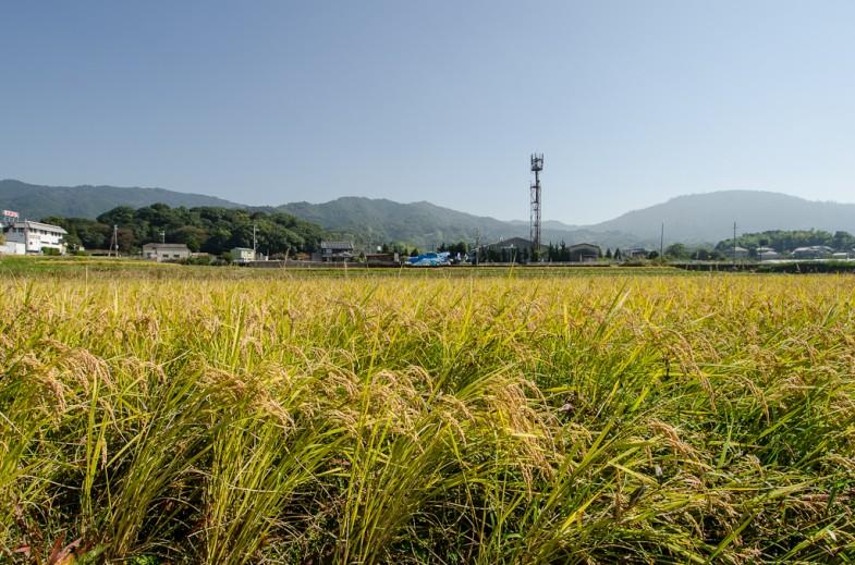 The natural rice field at Yoshikazu Kawaguchi's farm in Sakurai, Japan (photo: P.M. Lydon)