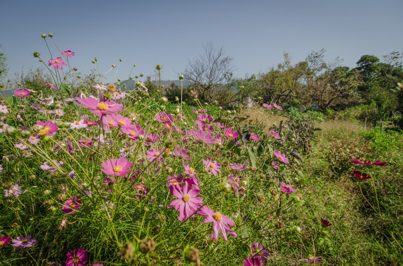 At Yoshikazu Kawaguchi's farm, weeds and even flowers grow along with food. (photo: P.M. Lydon)