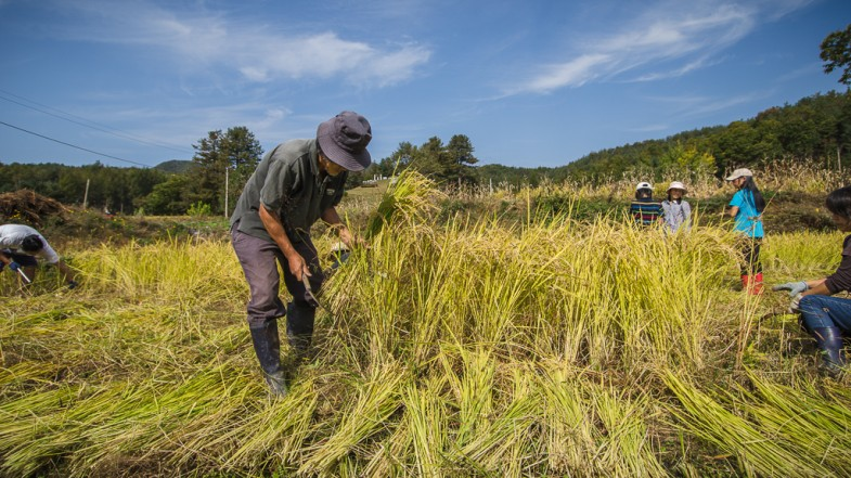 Farmer Seong-hyun Choi and community members working on his natural rice field (P.M. Lydon, FinalStraw.org, CC BY-SA)