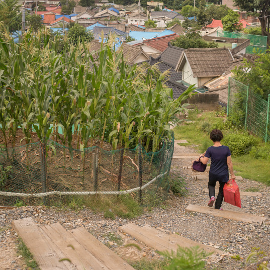 A small corn plot in Daedong, Daejeon, Korea (P.M. Lydon, CC BY-SA)