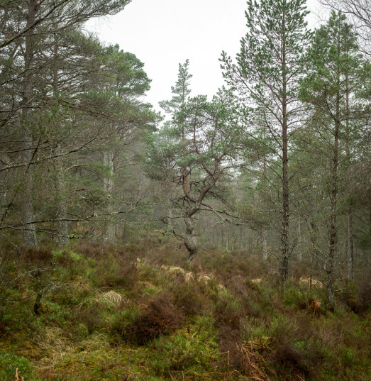 Caledonian Granny Pine #1, Rannoch, Scotland (photo: Patrick M. Lydon | CC BY-SA)