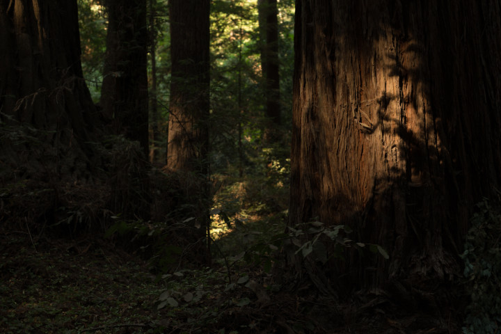 Redwood trees in the Santa Cruz Mountains of California (P.M. Lydon | CC BY-SA)