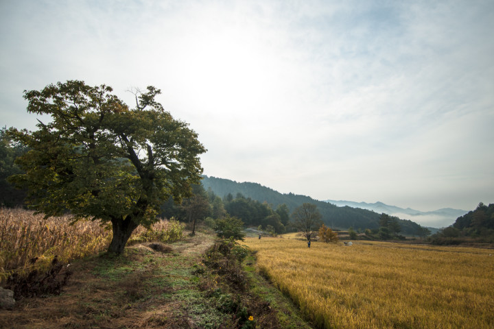 Rice harvest at 최성현 Seonghyun Choi's natural farm | South Korea