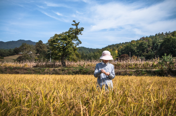 Rice harvest at 최성현 Seonghyun Choi's natural farm | Hongcheon, South Korea