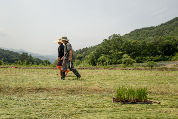A natural rice farm | Hongcheon, South Korea