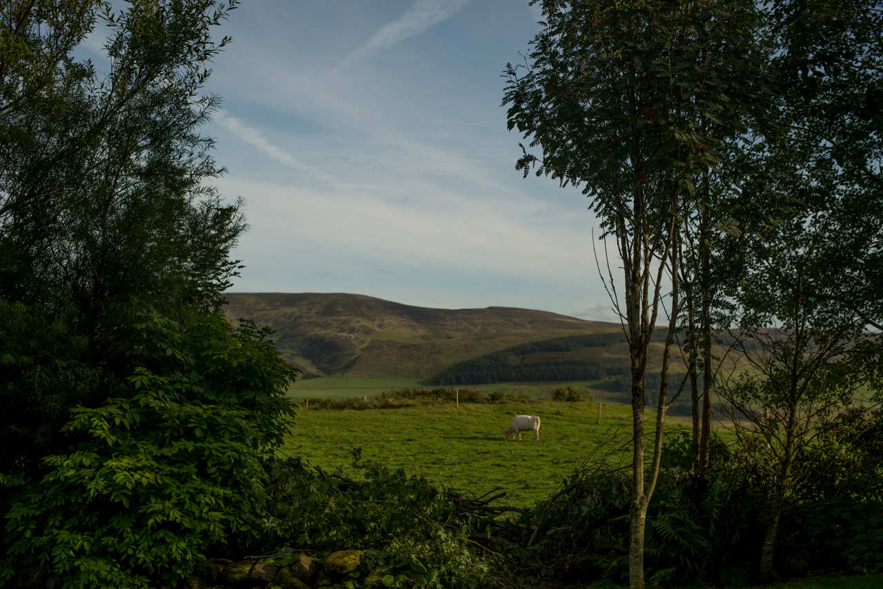 Cow grazing on a filed | Pentland Hills, Scotland