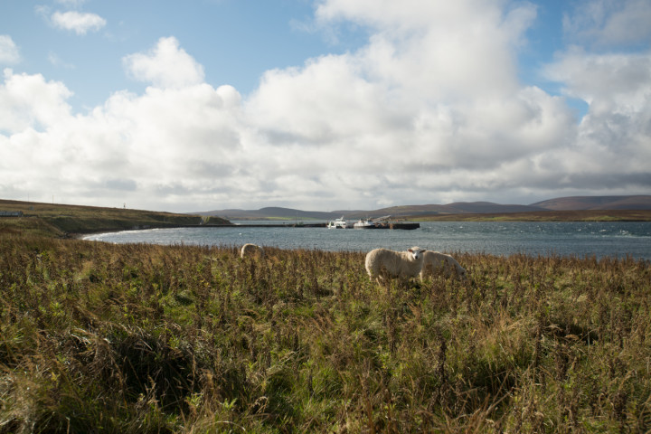 Sheep outside Flotta Oil Terminal | Orkney, Scotland