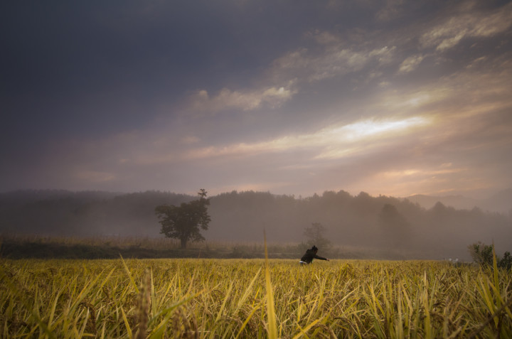 Natural rice field at dawn | South Korea