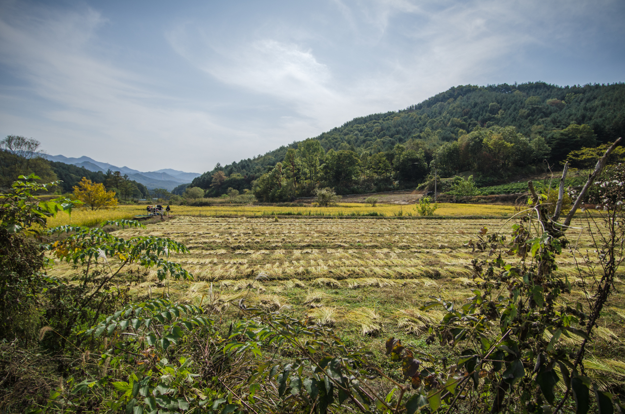 A natural rice farm after harvest | South Korea