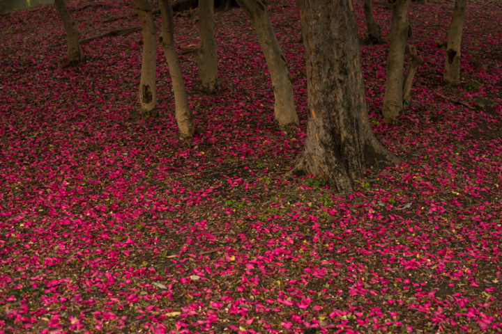 Winter blooming sazanka shrubs (trained to grow as trees) in Osaka, Japan | photo, P.M. Lydon
