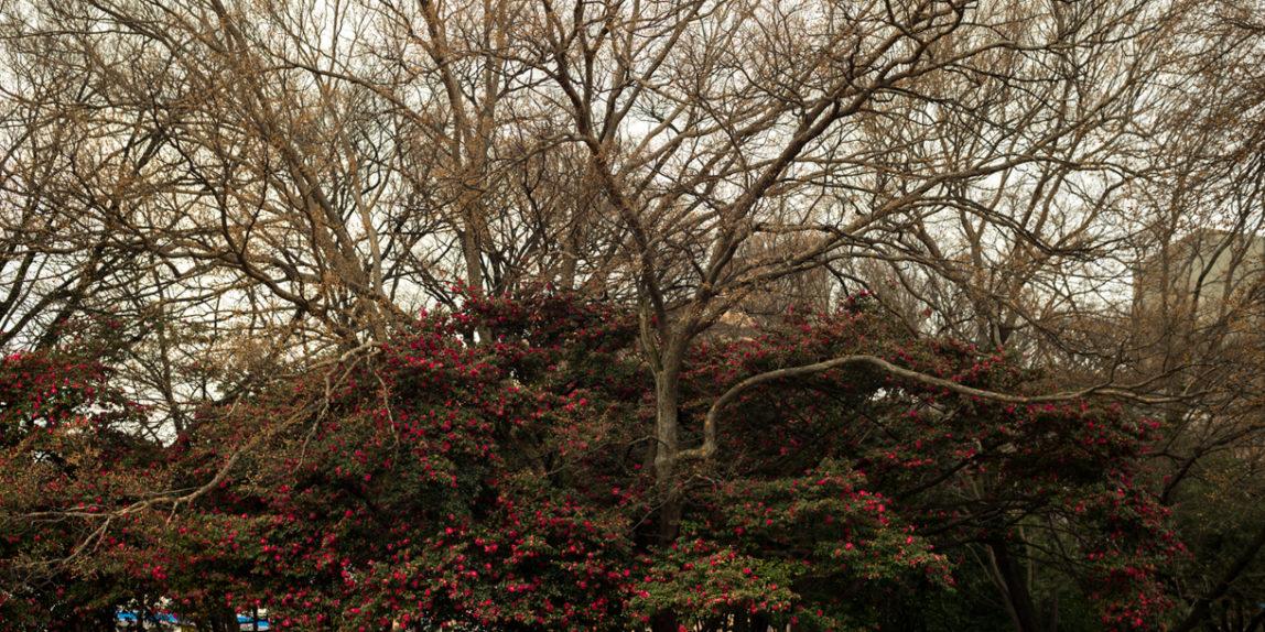 Winter blooming sazanka shrubs (trained to grow as trees) in Osaka, Japan   photo, P.M. Lydon